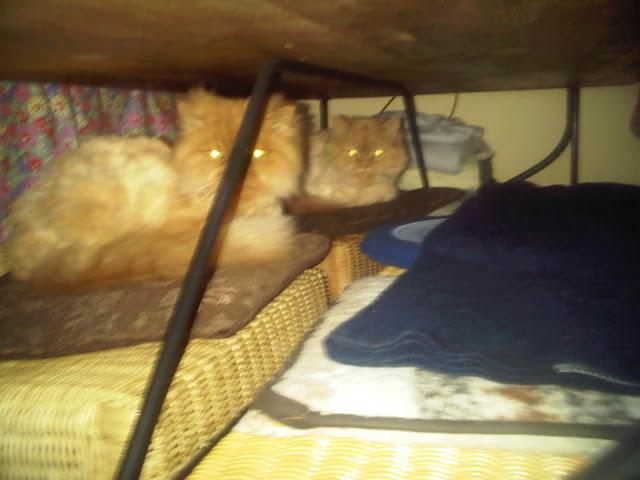 Katzen verstecken sich vor dem Staubsauger