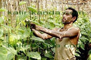 растение калир канда