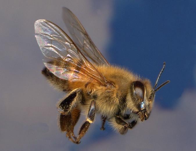 "Italian Honey Bee ""El rincón d..."