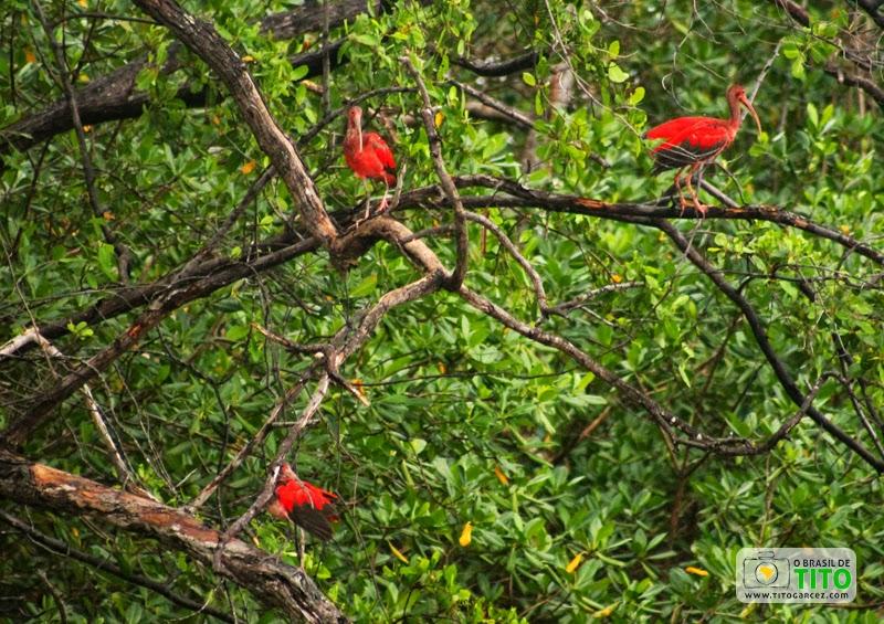Guarás (Eudocimus ruber), no manguezal na ilha de Maiandeua (Algodoal), no Pará