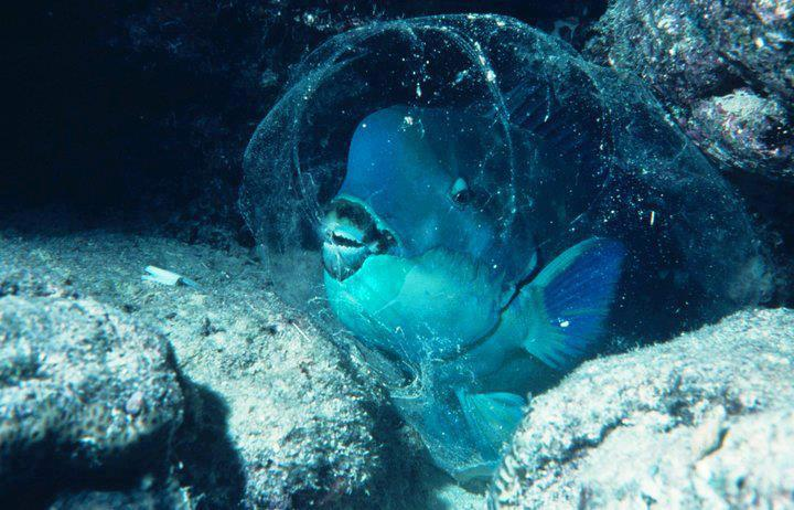 Parrotfish can make themselves a kind of mucus sleeping for Parrot fish facts