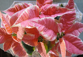 Pink and White Poinsettia Plant