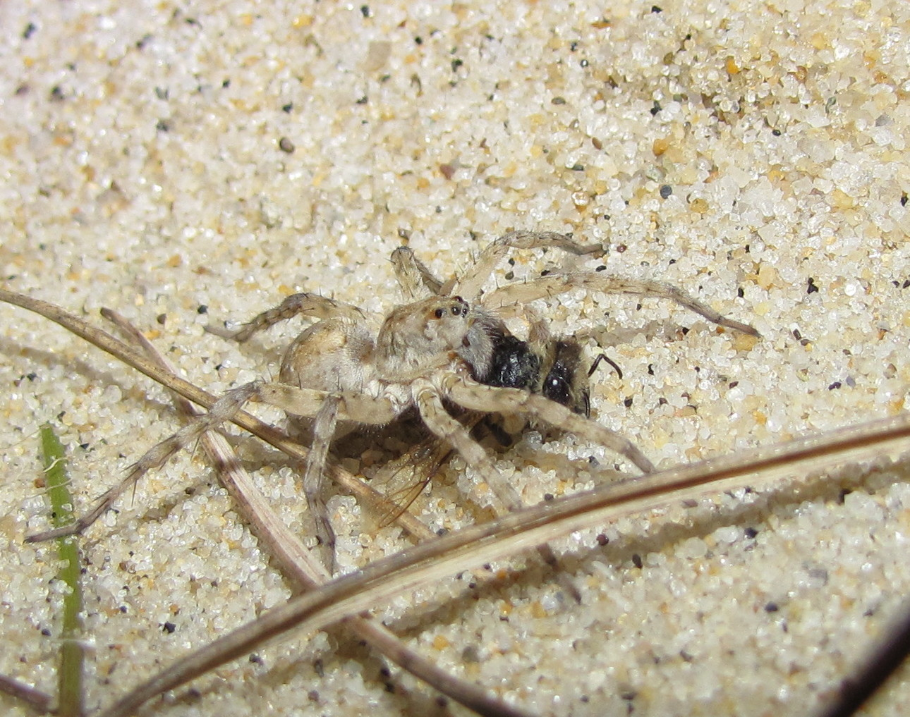 Good Spiders Of Cape Cod Part - 6: The Specimen Shown Here Is One I Encountered In Massachusetts On Cape Cod  National Seashore Under Cover Of Darkness On July 25, 2009.