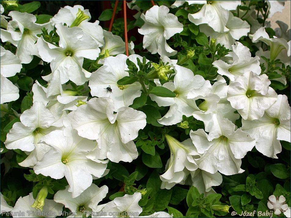 Petunia 'Picobella White' - Petunia ogrodowa 'Picobella White'