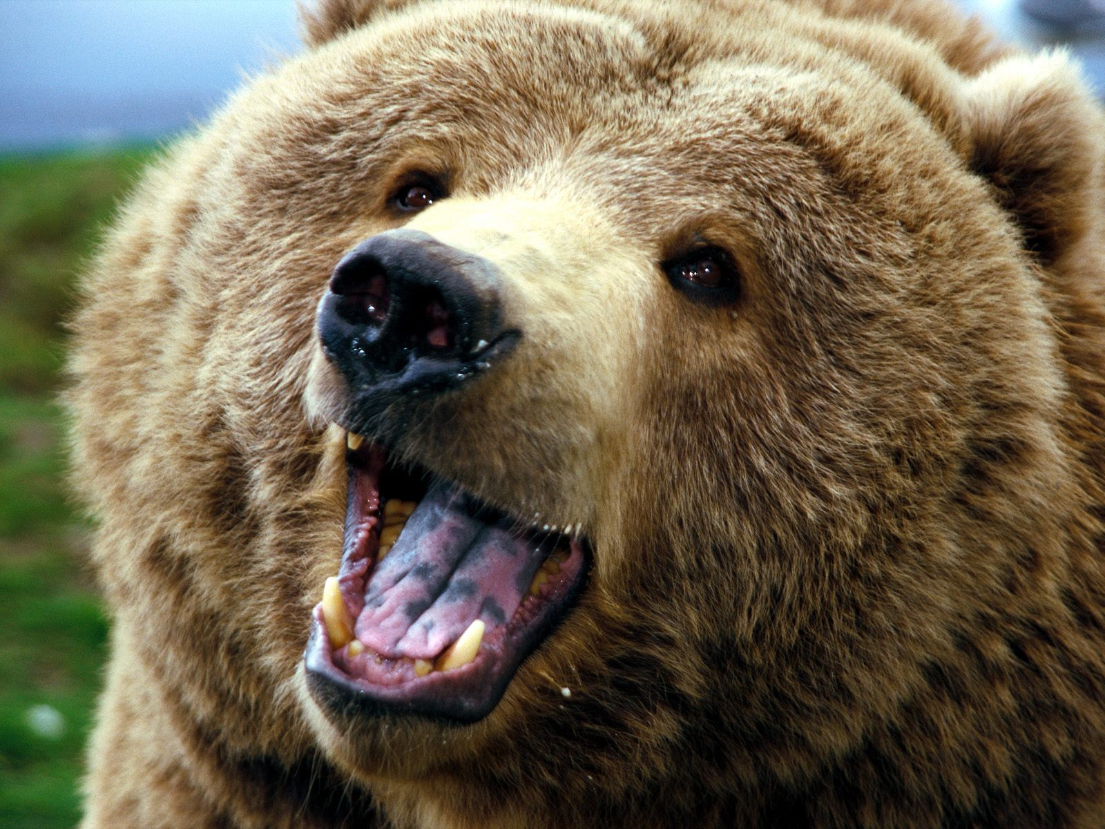 Brown bear - photo#12