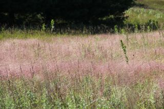 photo of purple-pinkish grass