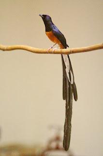 Cara Memilih Bakalan Burung Murai Batu