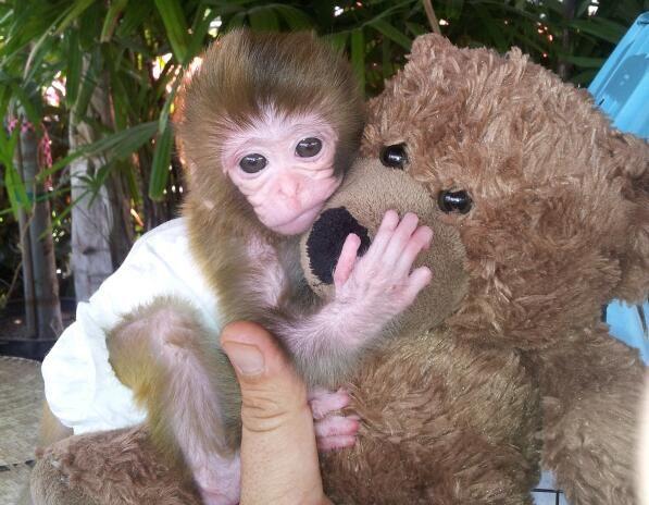 Baby Capuchin Monkey - 54.7KB