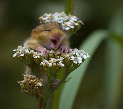 Chipmunk, Least Chipmunk, Flower