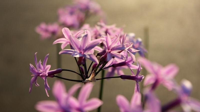 croazia, fiori, flowers