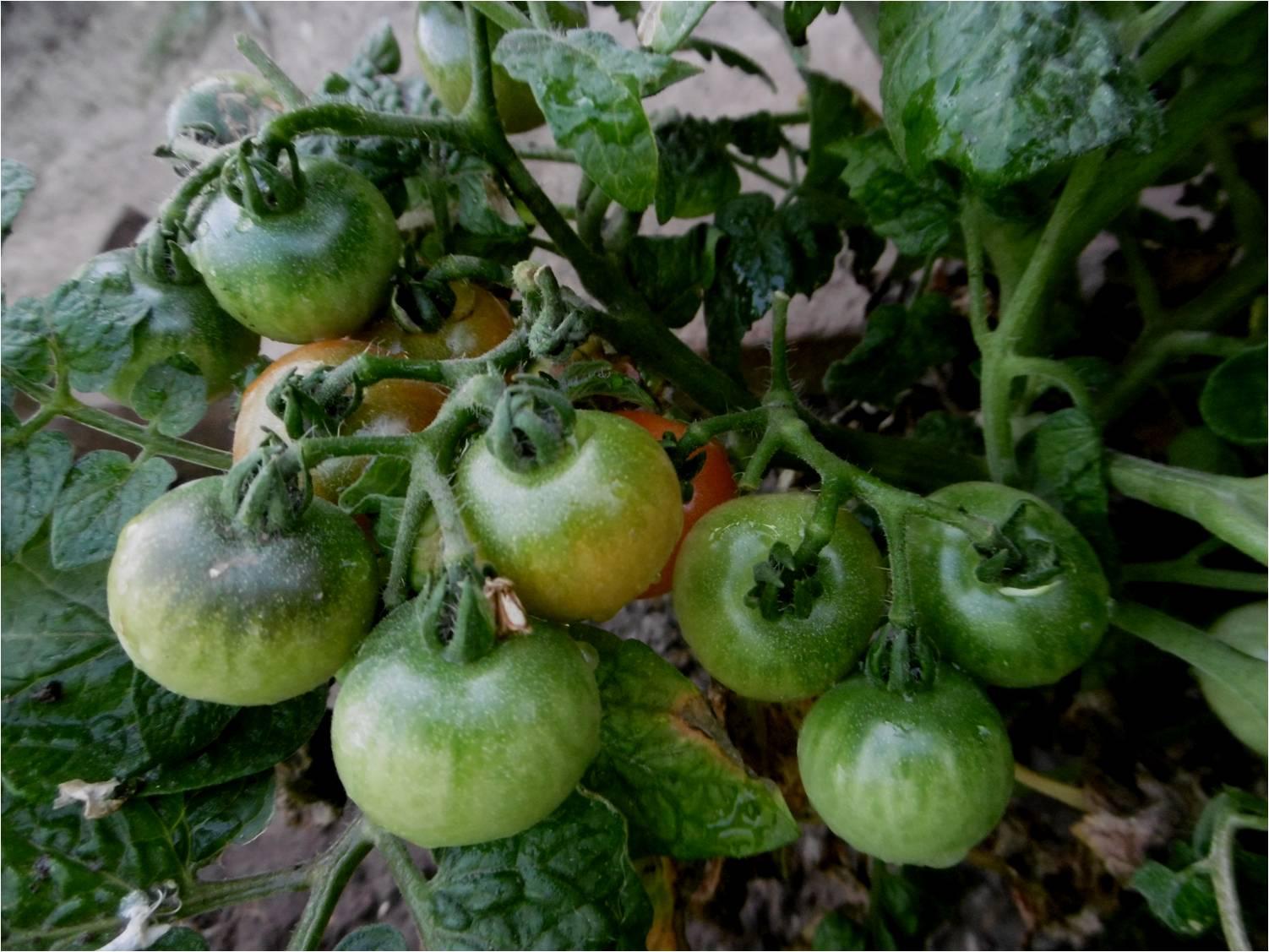 Tomates cherry en maceta great ms imgenes de pack de - Tomates cherry en maceta ...