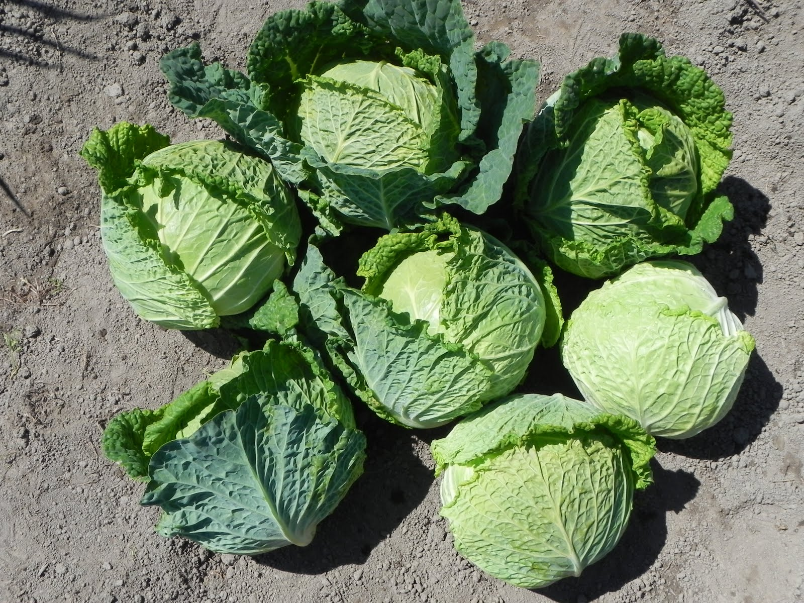 Савойская капуста выращивание отзывы 83