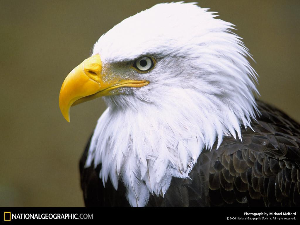 http://2.bp.blogspot.com/-zp93Zq84mBY/TeIp3Om7xeI/AAAAAAAABRM/lVKEA0UzBG8/s1600/eagle+wallpapers10.jpg