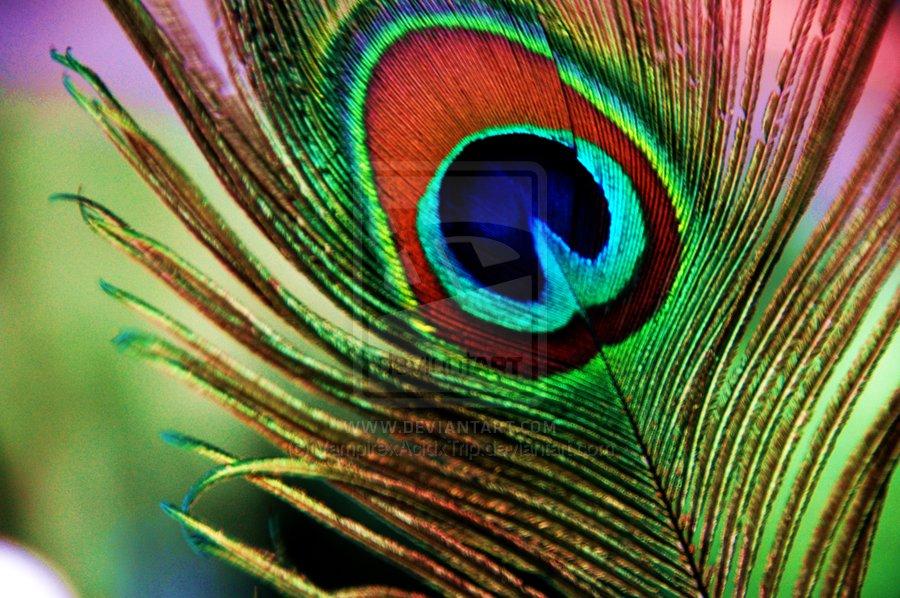 ريش الطاوس الفائق الجمال The_Peacock_Feather_by_VampirexAcidxTrip
