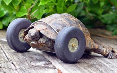 Αυτή η 90 ετών χελώνα ξανά χαίρεται την ζωή της μετά την απώλεια των μπροστινών της ποδιών
