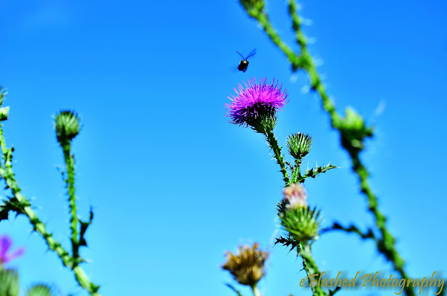 Thistle, Bee, and the Sky