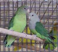 jenis lovebird kepala abu-abu