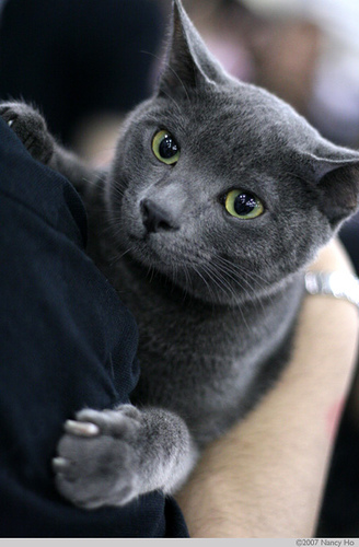 blue Russian Blue kitten,