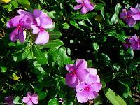 Tapak Dara (Catharantus roseus [L.] G. Don.)