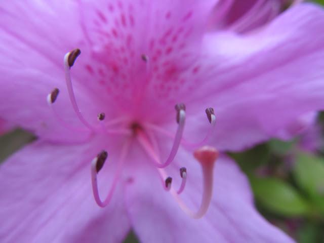 azalea stamens