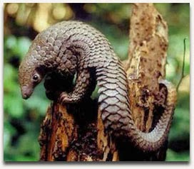 Tree Pangolin climbing