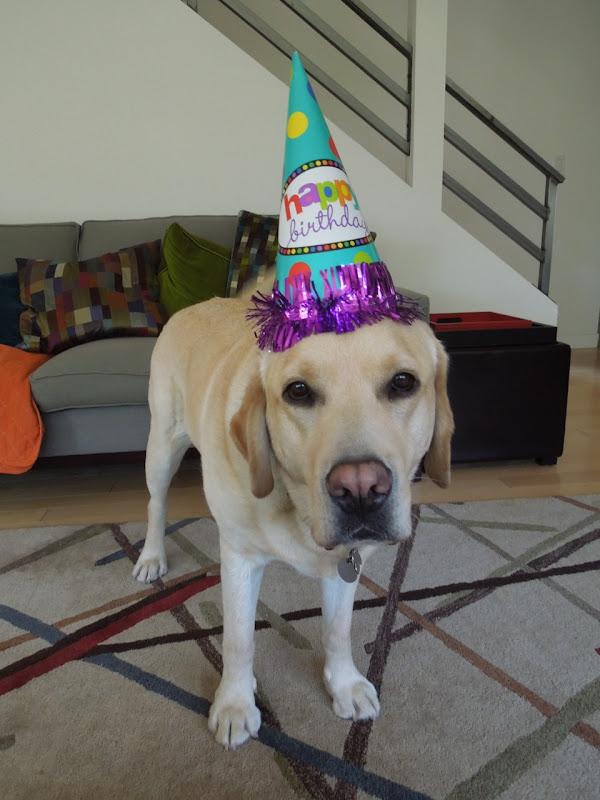 4 year Labrador Cooper