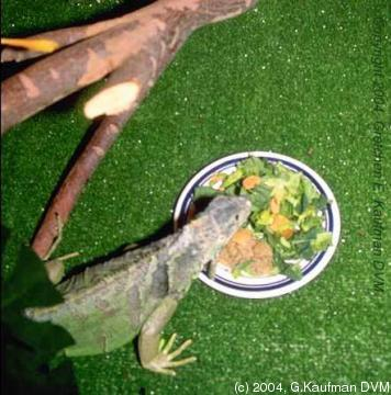 The ideal amount out time to handle your iguana is 1 hour a day. The amount you take out your iguana makes every difference as far as taming your iguana ... & Zach and Apollo the iguana: Iguana care feeding and lighting azcodes.com