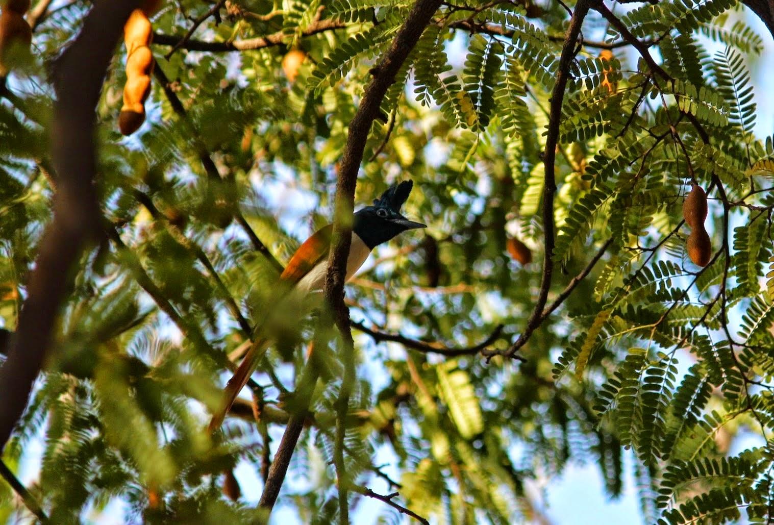 Asian paradise flycatcher (F)