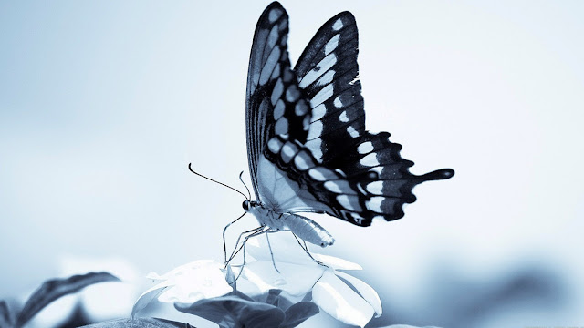 Beautiful Betterfly Wallpapers Free Download