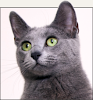 Russian Blue Cat Beata
