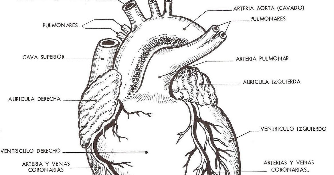 Moderno Anatomía Del Corazón Para Colorear Viñeta - Dibujos Para ...