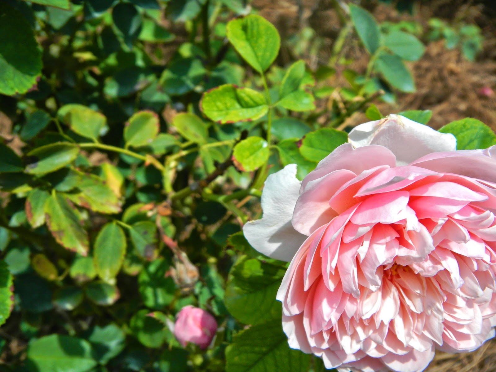 Rose in bloom at Edisto Memorial Gardens