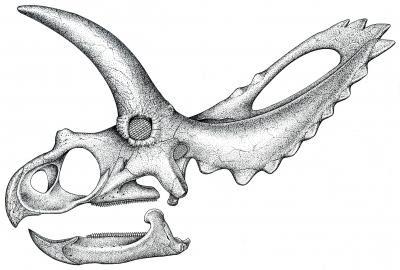 Coahuilaceratops skull