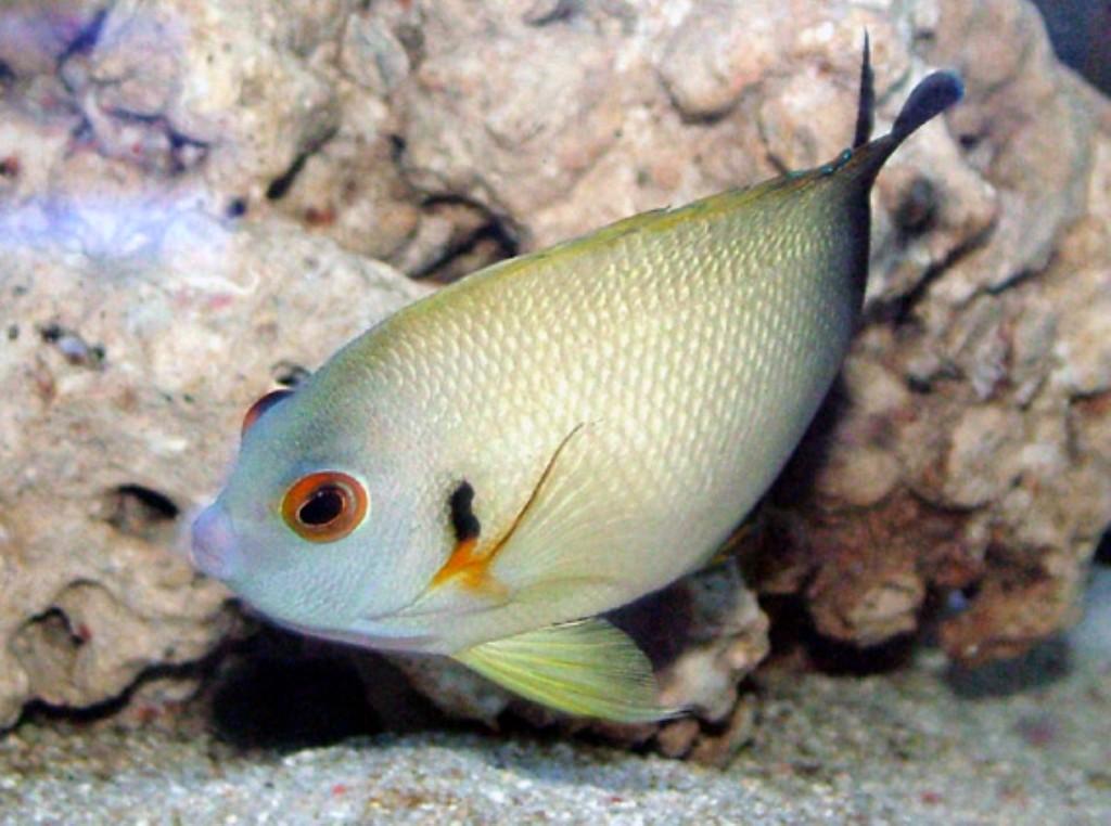 half black angelfish