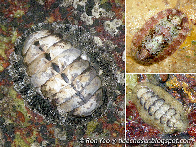 Polyplacophoran (Phylum Mollusca, Class Polyplacophora), or Chiton