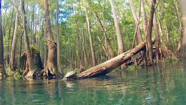 Schildkröten - Ichetucknee Springs State Park - Fort White, Florida