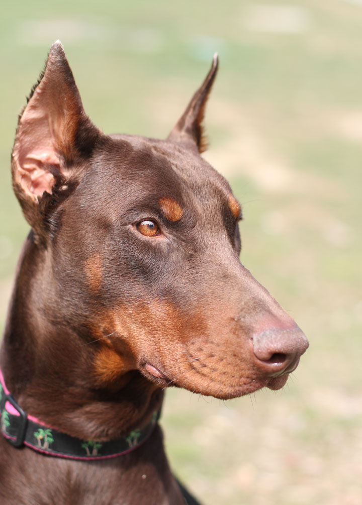 Red Doberman Pinscher wallpaper 1080p