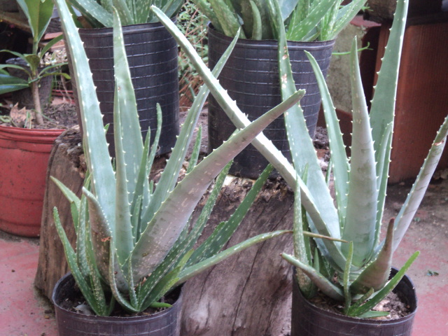 PLANTAS MORENAL: ALOE VERA - Aloe barbadensis - Disponible en maceta ...