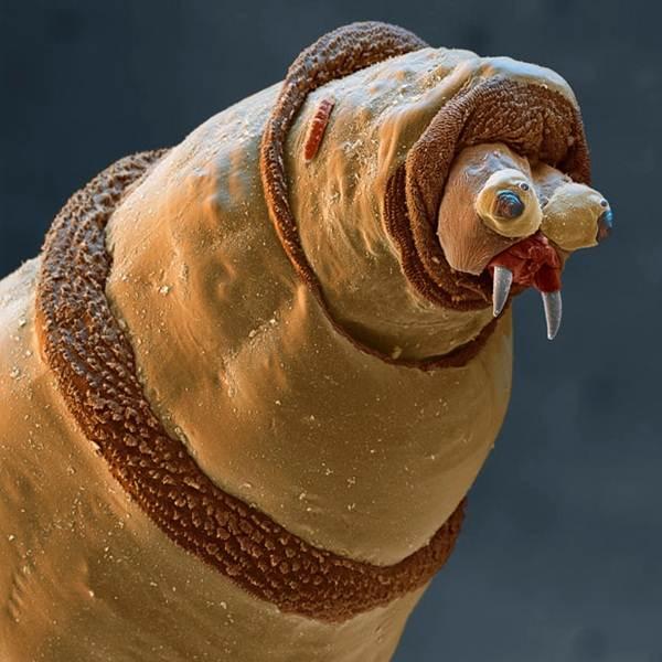 larva-seekor-langau