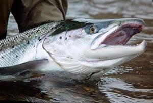 «Дурилка» - снасть для ловли лосося