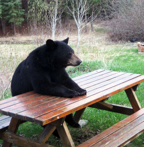 http://2.bp.blogspot.com/-zt_hJAehhgw/TziBoDI8KOI/AAAAAAAABVY/jUD5OjJnVVs/s1600/bear-sitting-picnic-table.jpg