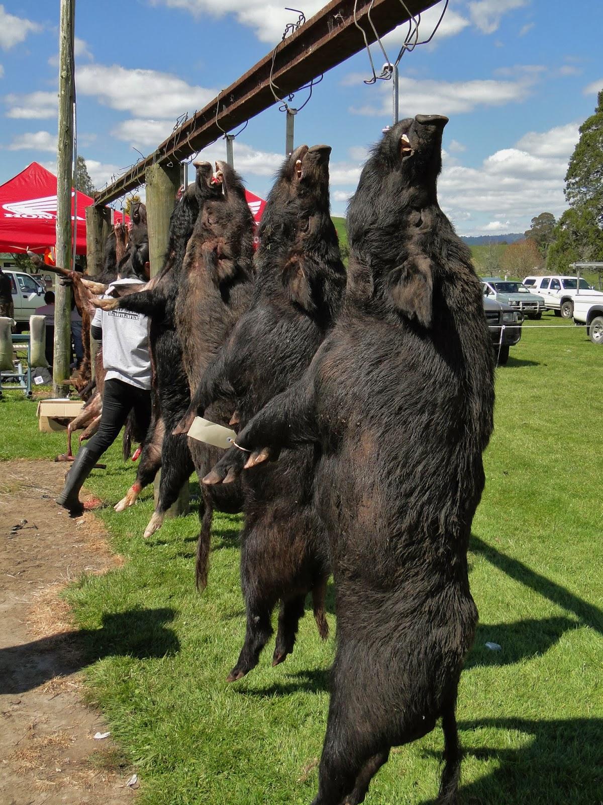 Pig Hunting New Zealand North Island