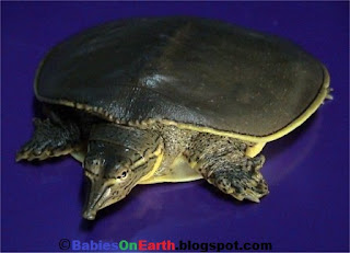 Baby Smooth Softshell Turtle