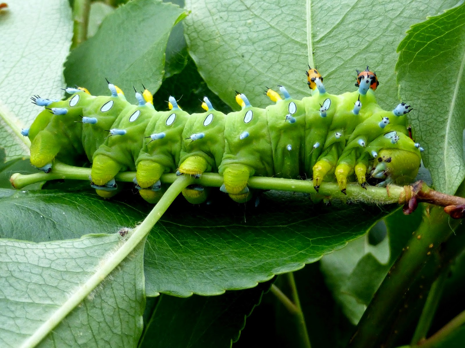 Hyalophora cecropia caterpillar L4
