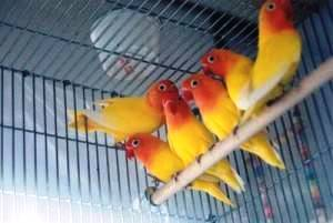Beternak Burung Love Bird