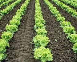อาชีพอิสระการปลูกผักกาดหอม