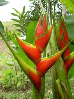 Heliconia parrot flowers
