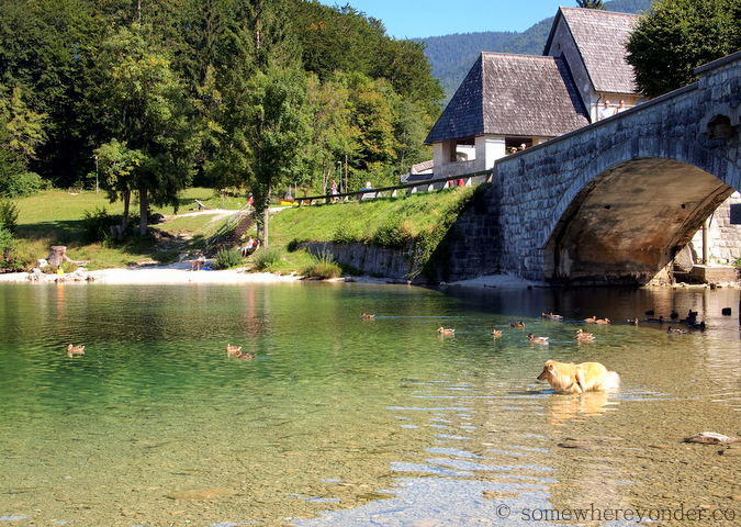 Trout and dog in Lake Bohinj, Slovenia