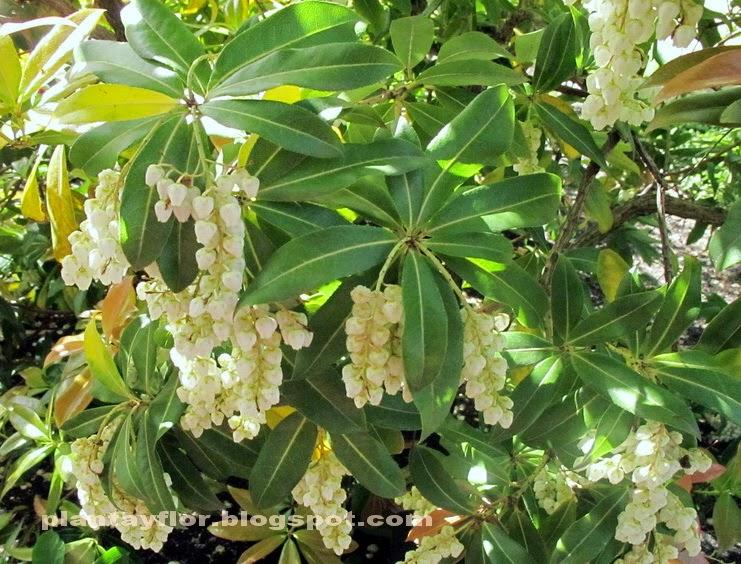 Plantas y flores pieris japonica - Cuidados de la camelia japonica ...