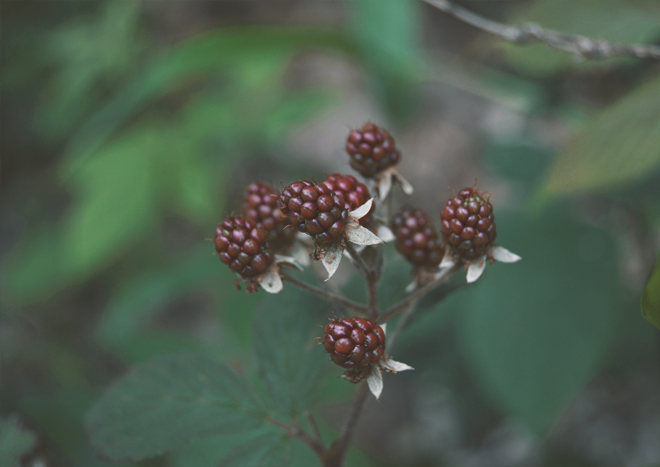 The Flying Clubhouse: June Catchfly // blackberries